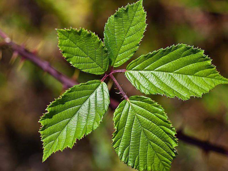 Листья ежевики