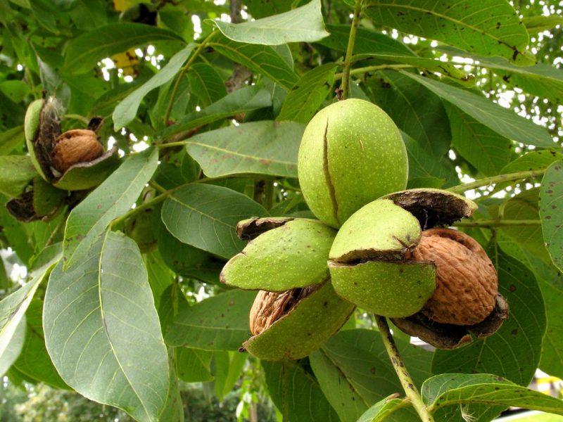 листья грецкого орех