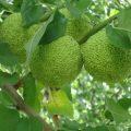 Адамово яблоко — рецепт настойки для суставов и ее эффективность